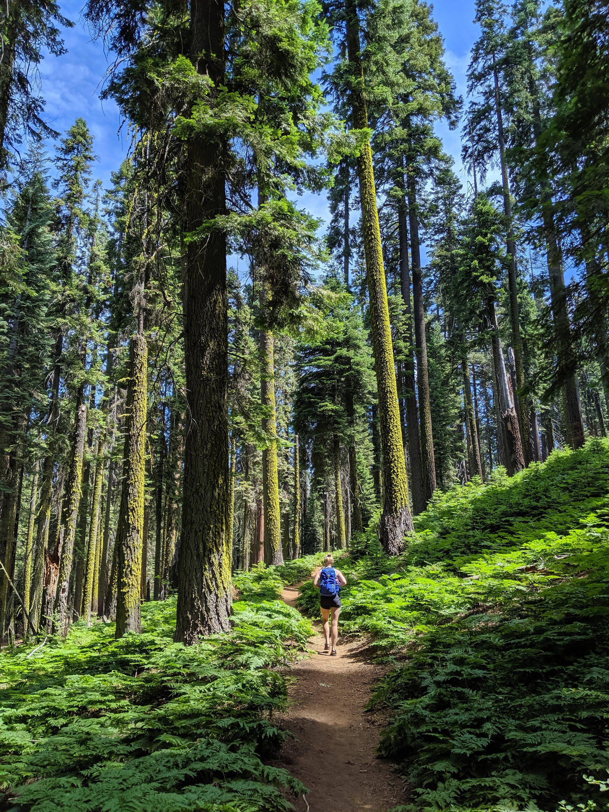 Sequoia, Sequoia National Park, CA National Parks