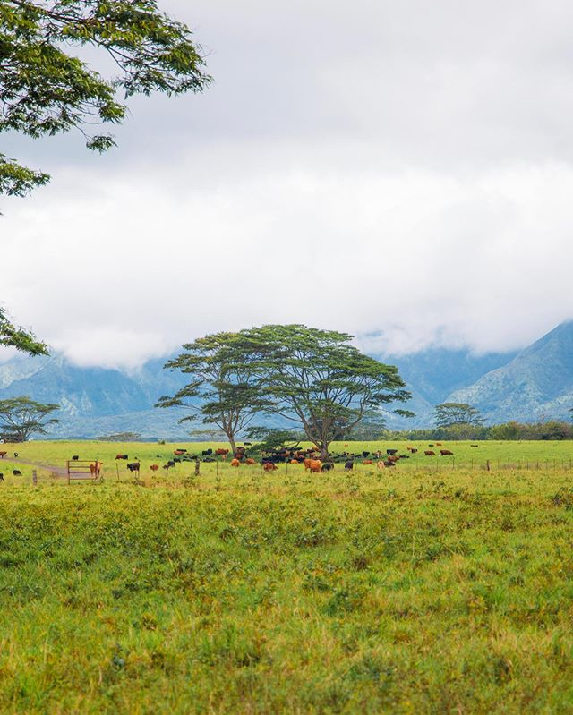 One of my favorite shots in Kauai! Albizia trees are so cool! 🙌🐮🌴