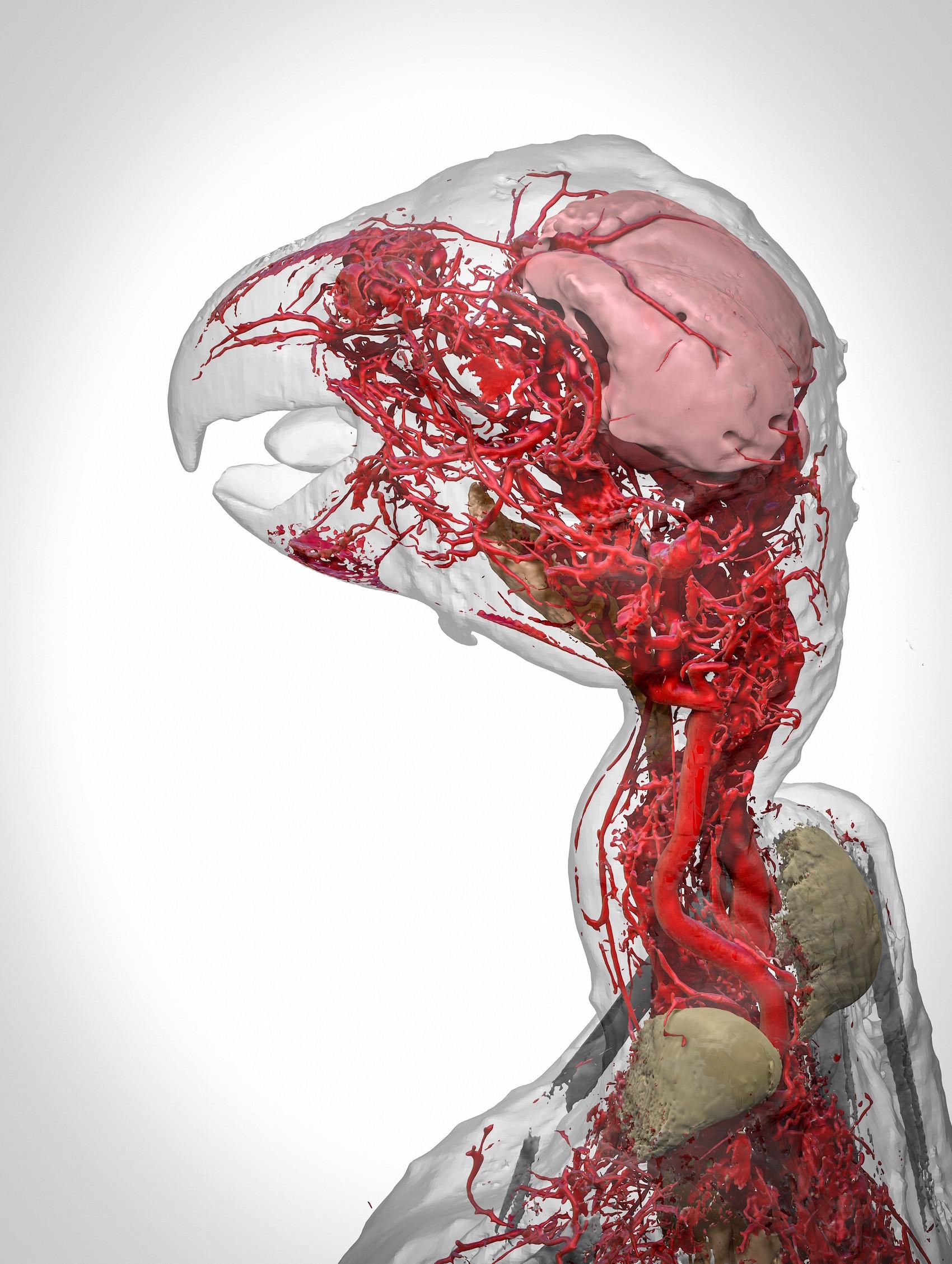 Blutgefäße eines Afrikanischen Graupapageis