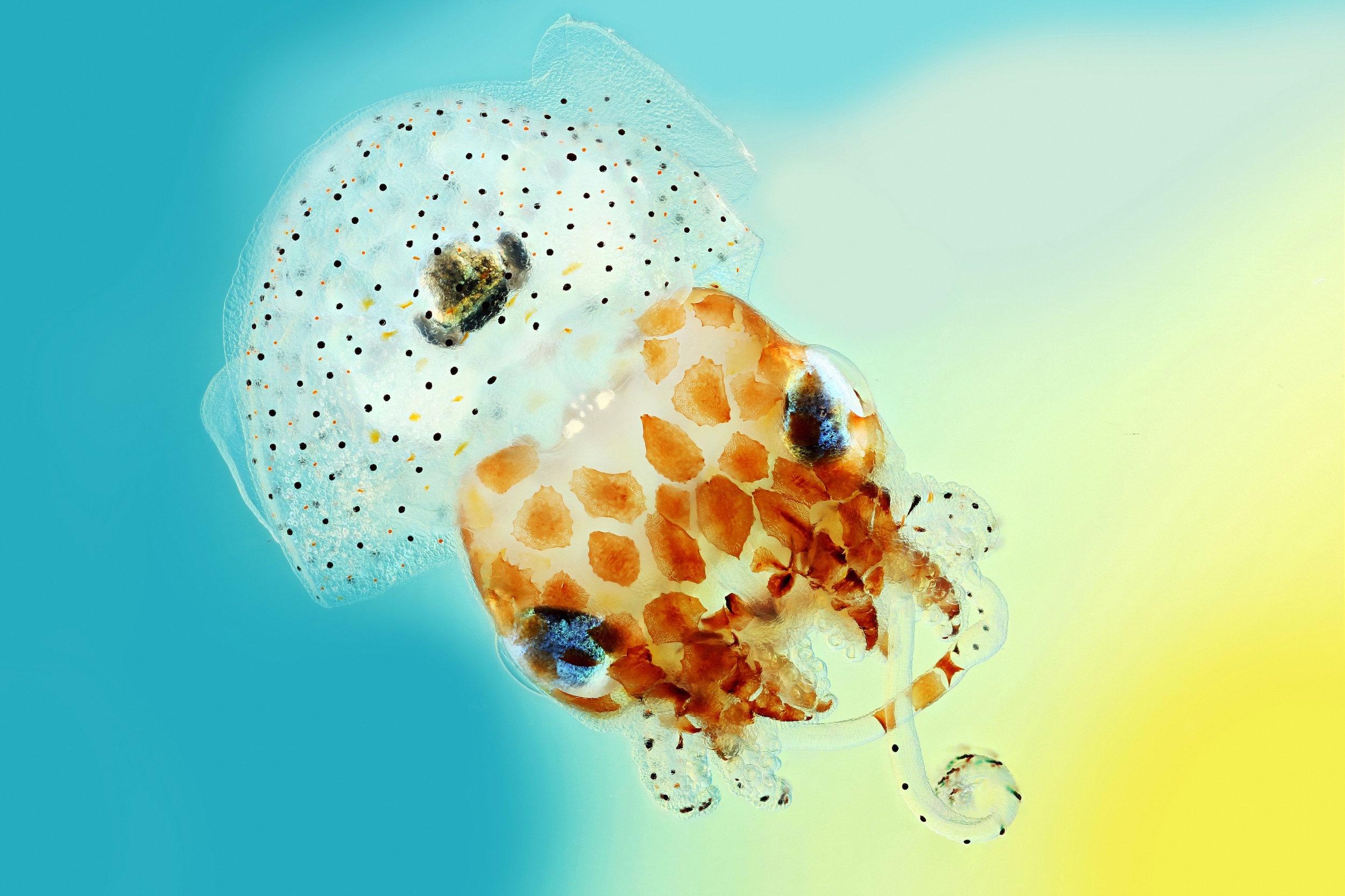 Hawaianischer Zwergtintenfisch
