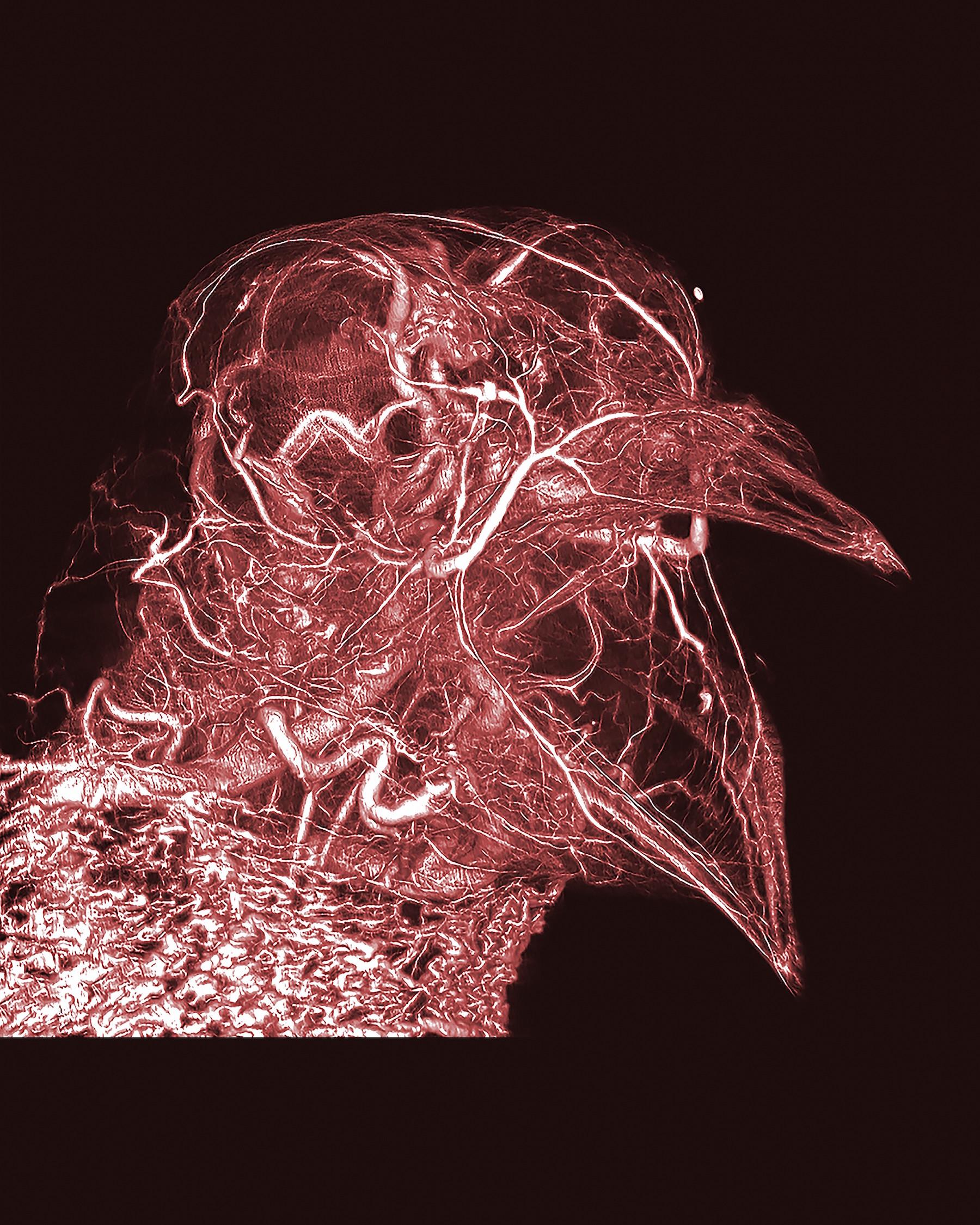 Wärmeregulierung der Taube