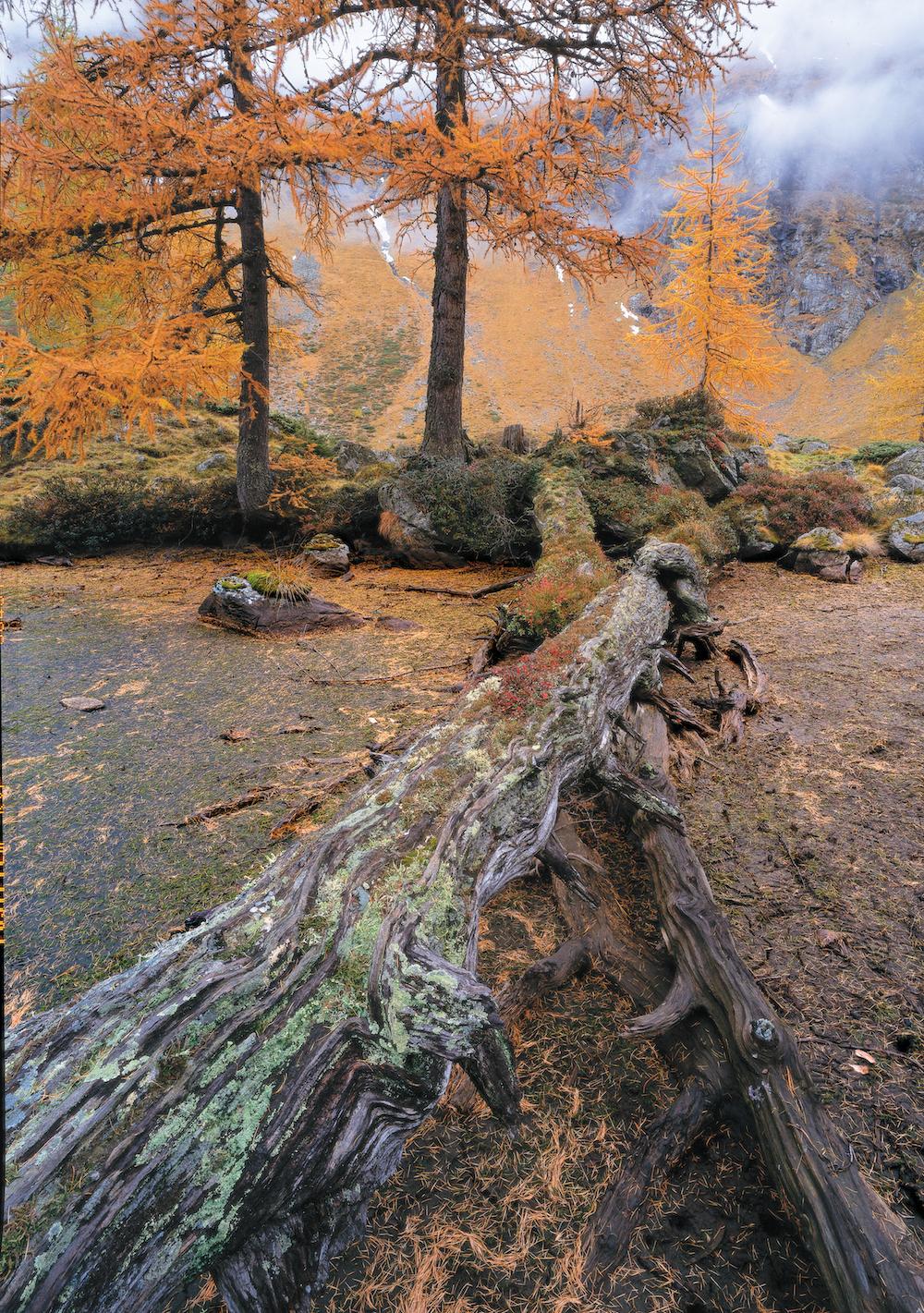 Totholz im herbstlichen Lärchenwald © Franz Kovac/Bundesforste