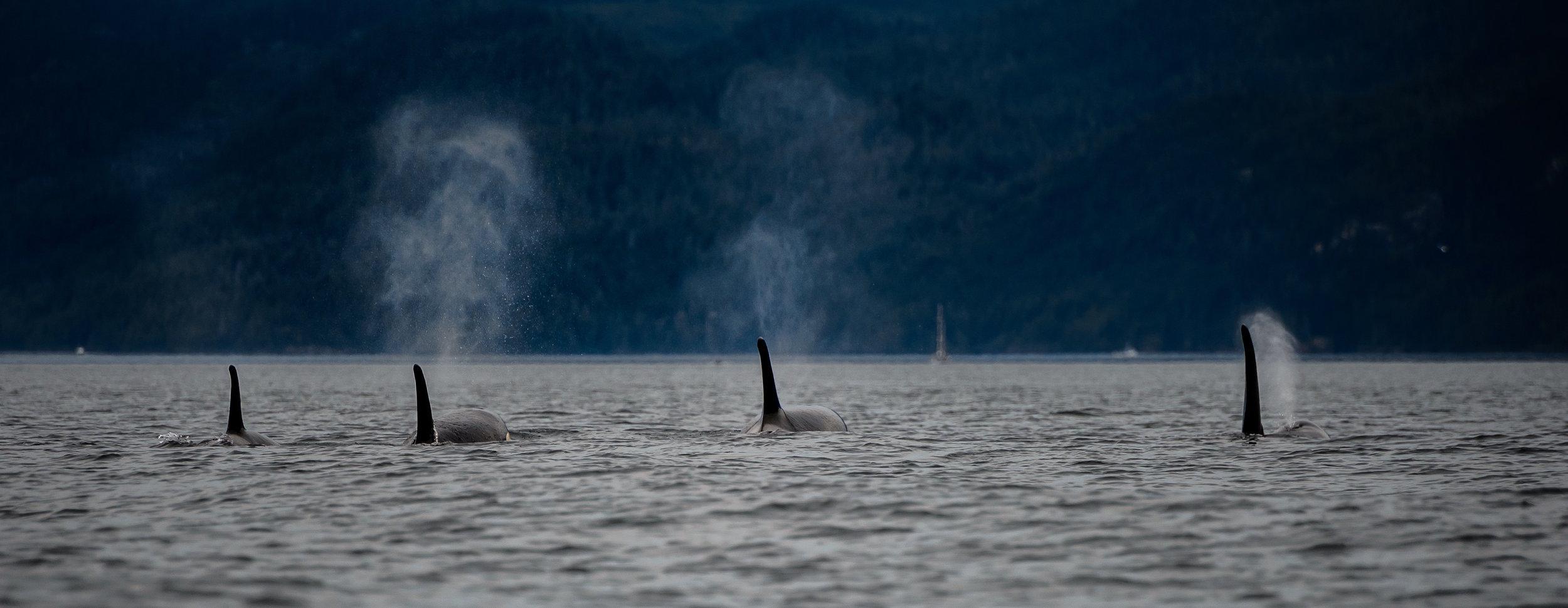 Orcas © Frank Busch / Unsplash.com