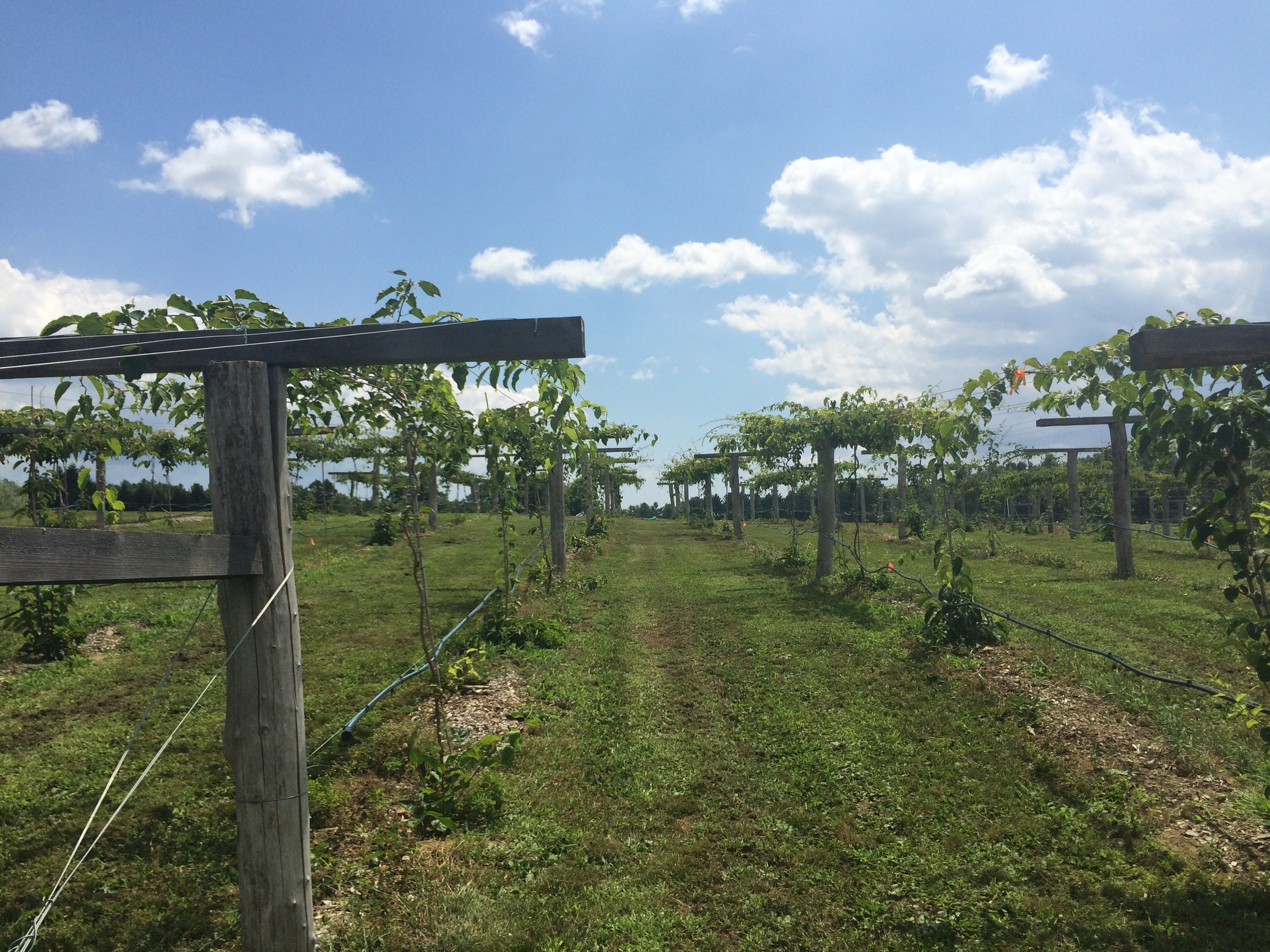 The kiwi vineyard at UNH is three years old, and has just born its first fruit.