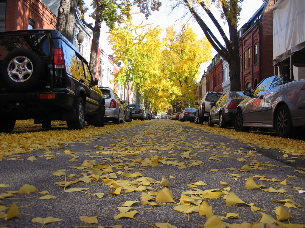 Ginkgo trees in Logan Circle, Washington D.C.