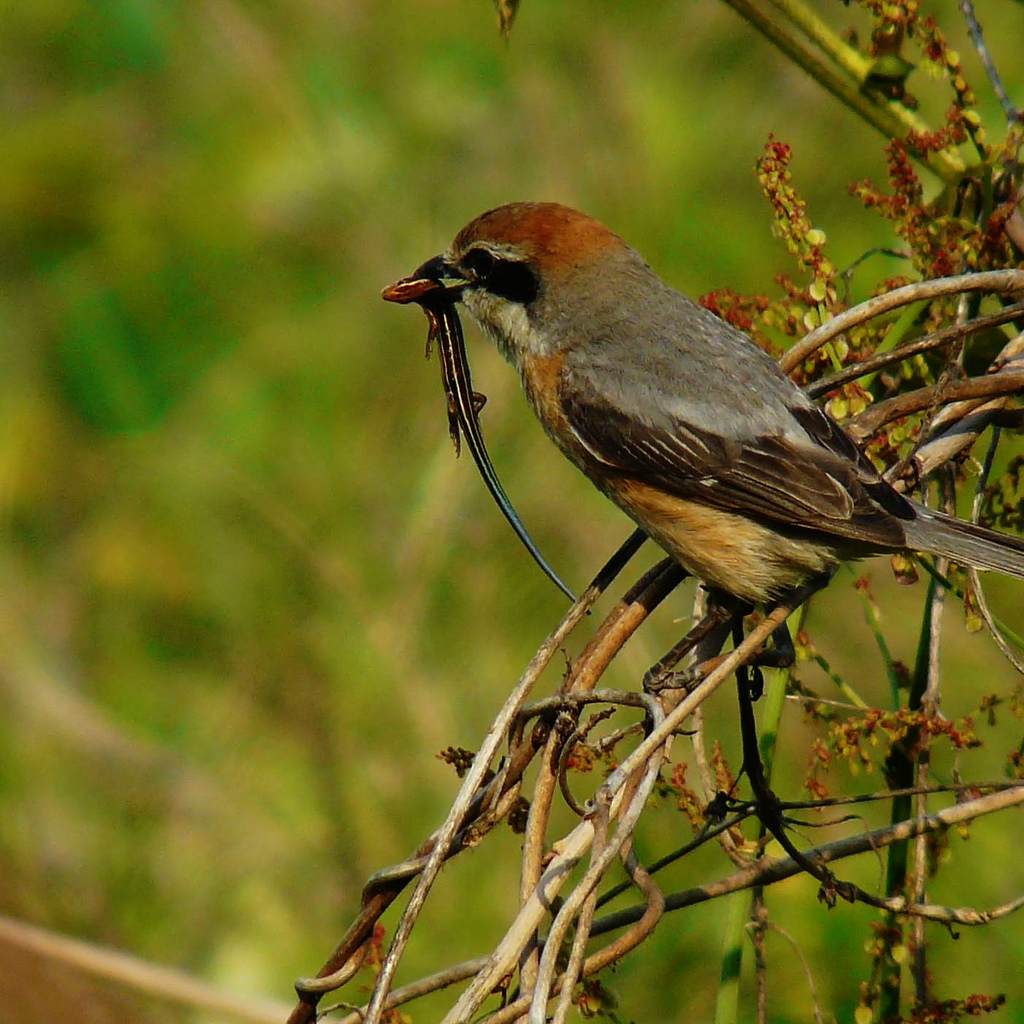 Male Shrike with Prey