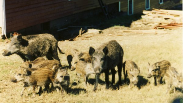 Some of the many wild pigs hanging around Central Station   Courtesy of Brian Meyette