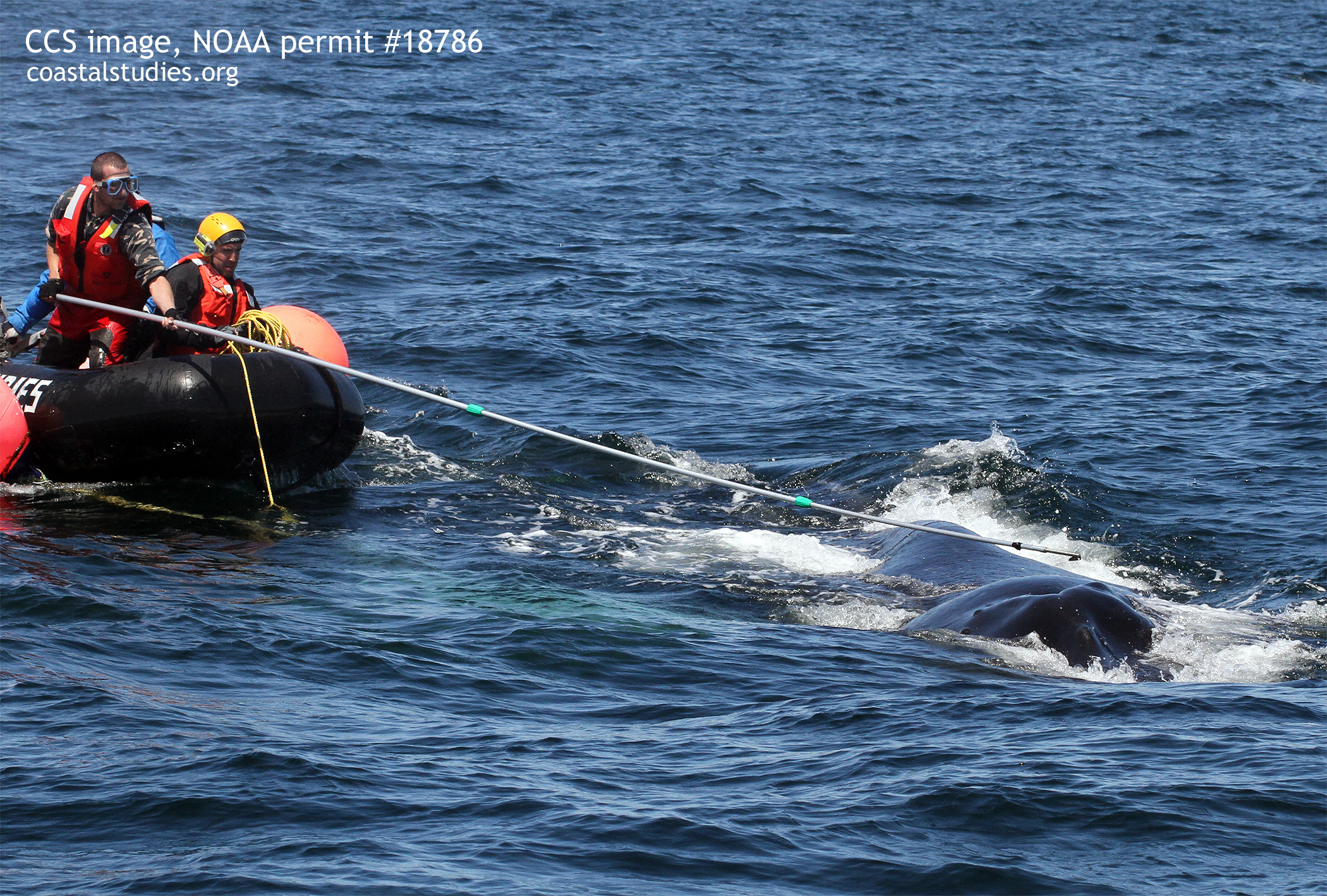 "a Marine animal entanglement response team (maer) working to disentangle the humpback whale ""foggy"" off the coast of gloucester, massachusetts, on may 18, 2016 (ccs image, noaa permit #18786)."