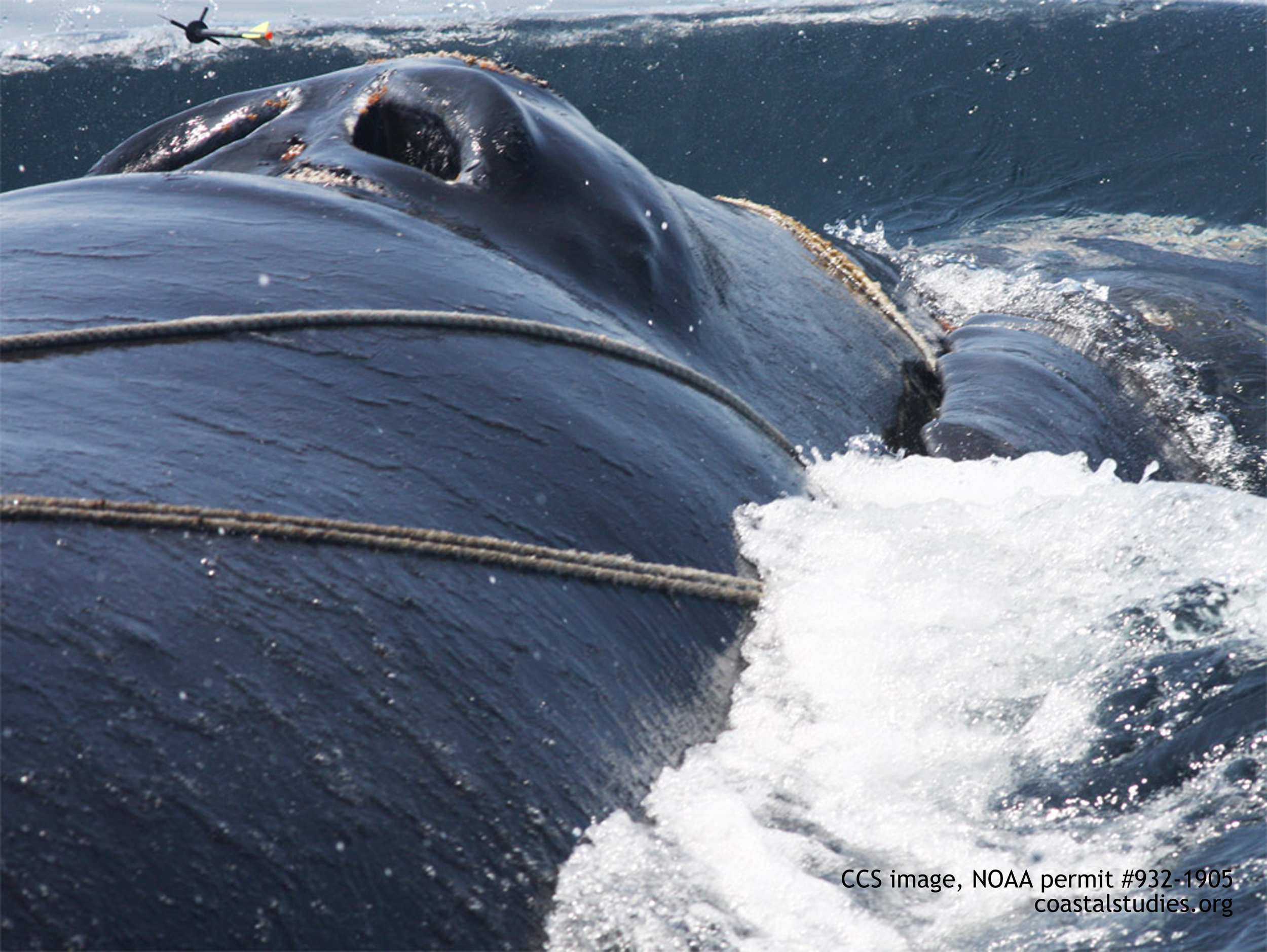 """wart"" the right whale (ccs image, noaa permit #932-1905)"