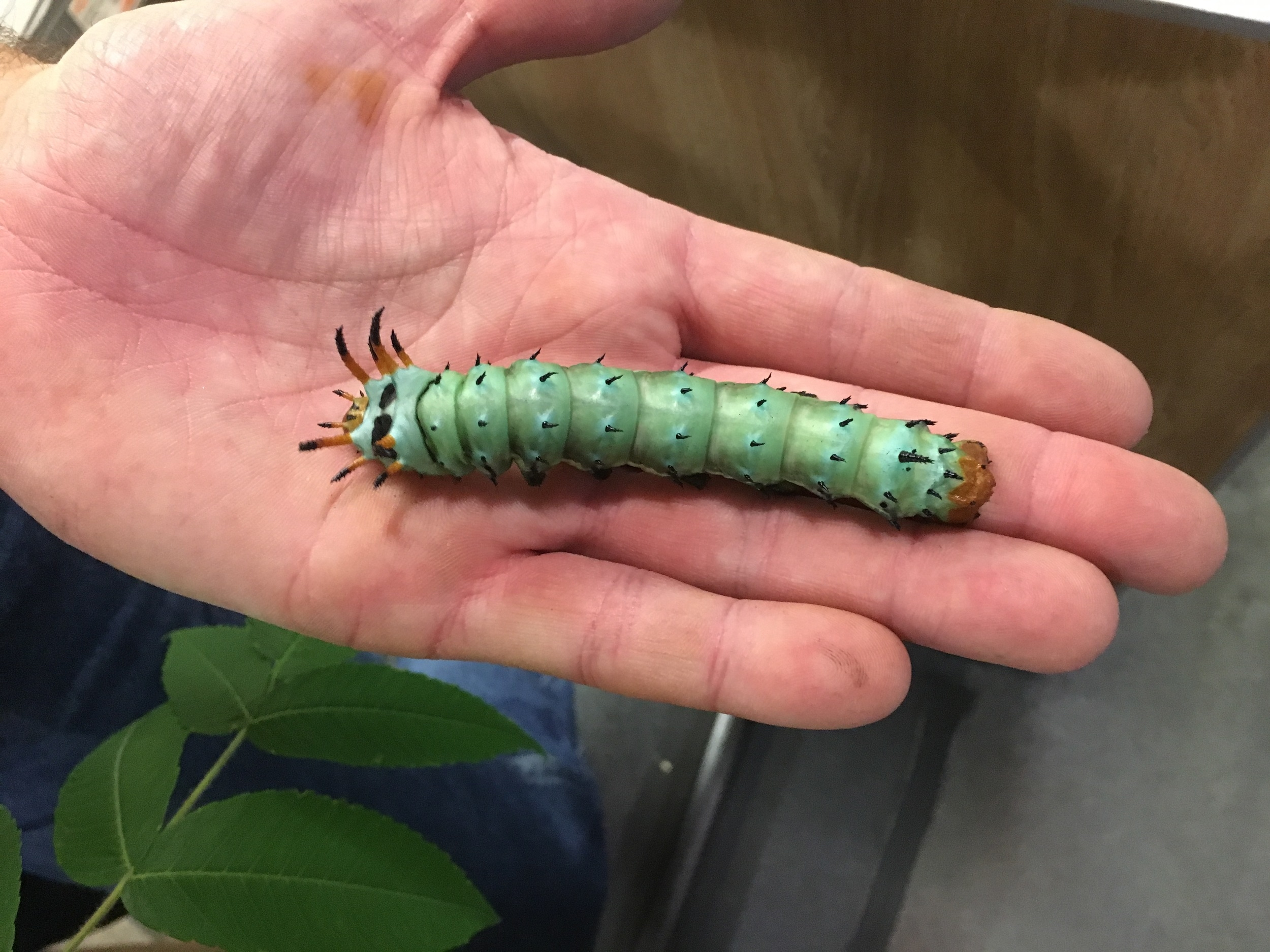 That's one juicy caterpillar.