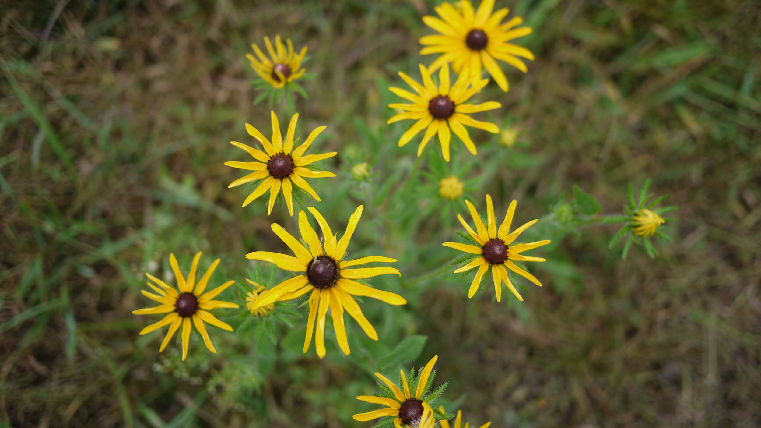 Brown Eyed Susan | Rudbeckia hirta