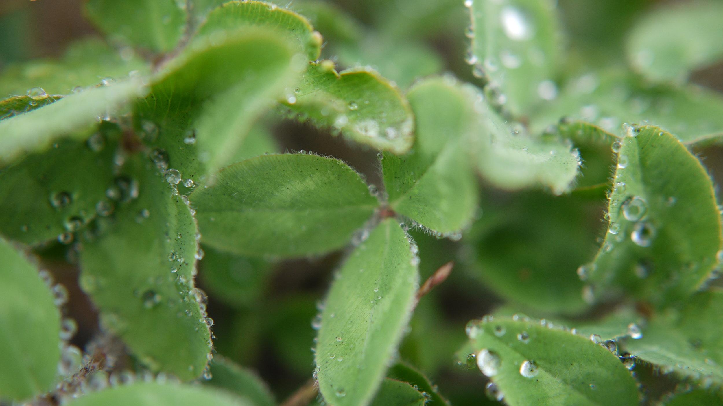 Red Clover – Trifolium pratense