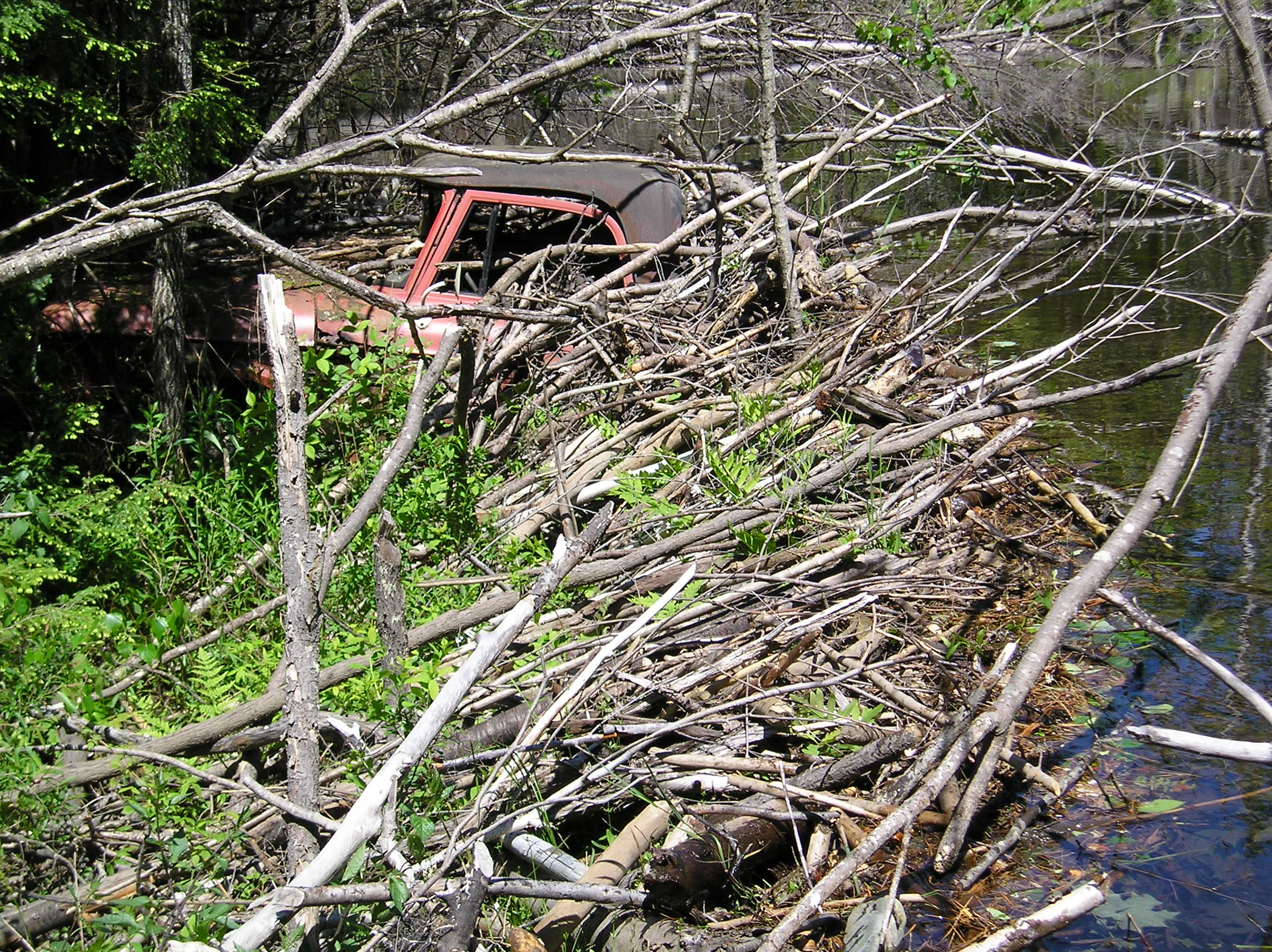 A pick-up truck swallowed whole by a beaver dam. | Photo Courtesy of Mike Callahan,  beaversolutions.com