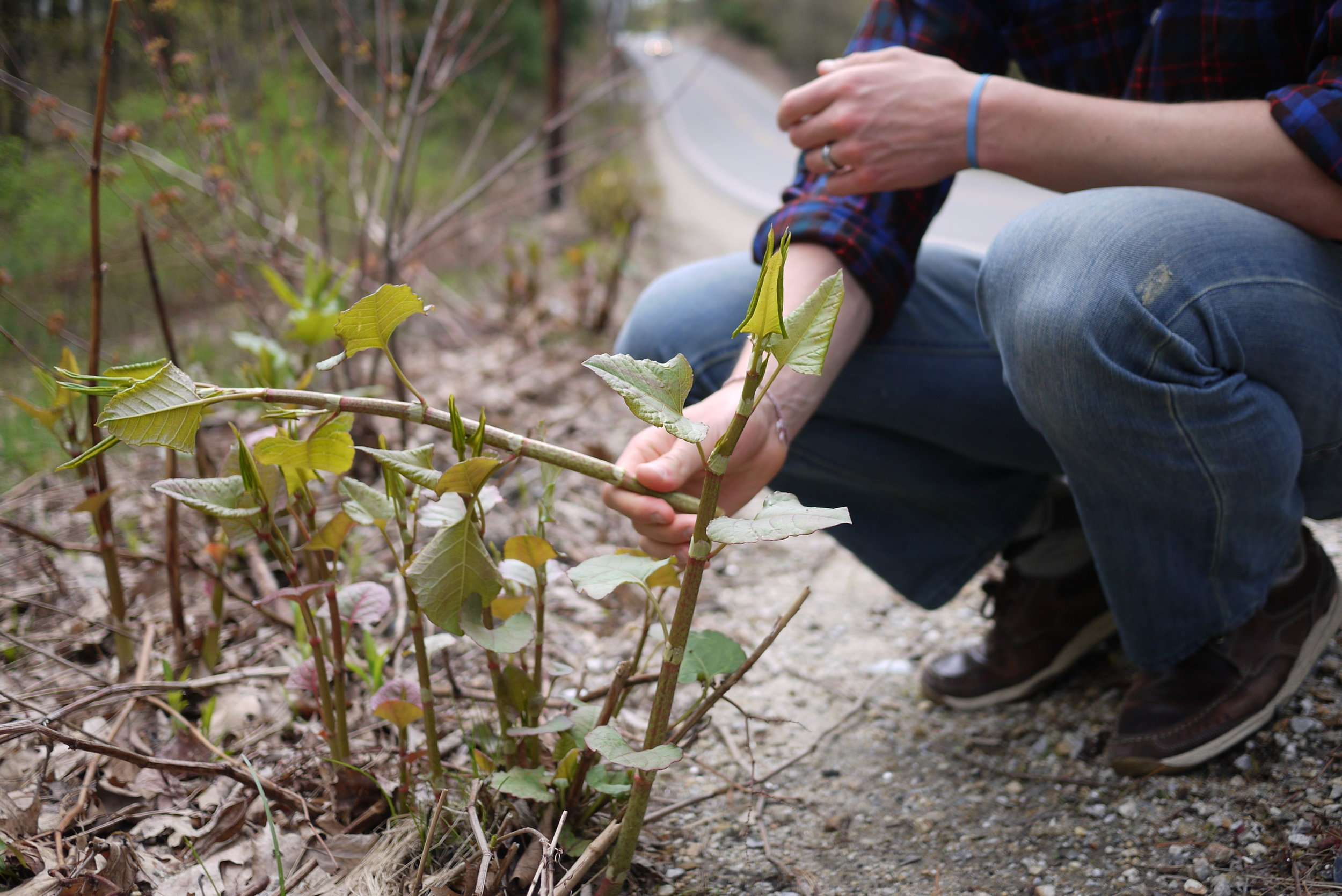 Japanese knotweed growing along side a road in Concord, NH | Photo: Logan Shannon