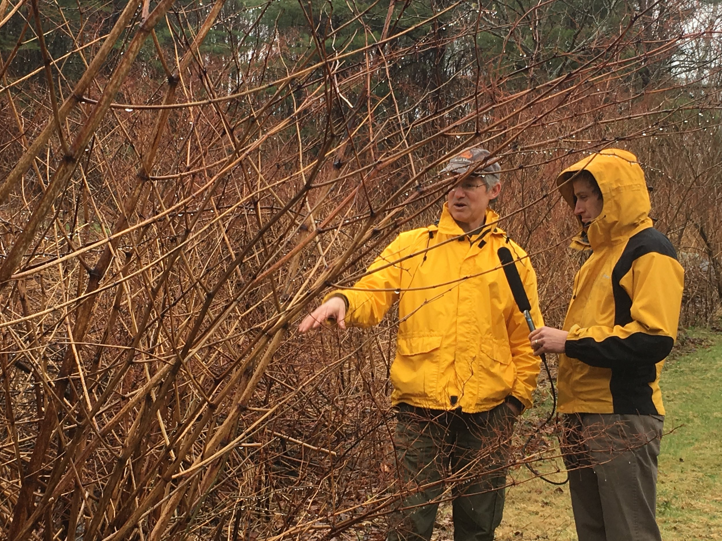 Ken and Sam check out the knotweed growth on Ken's property   Photo: Taylor Quimby