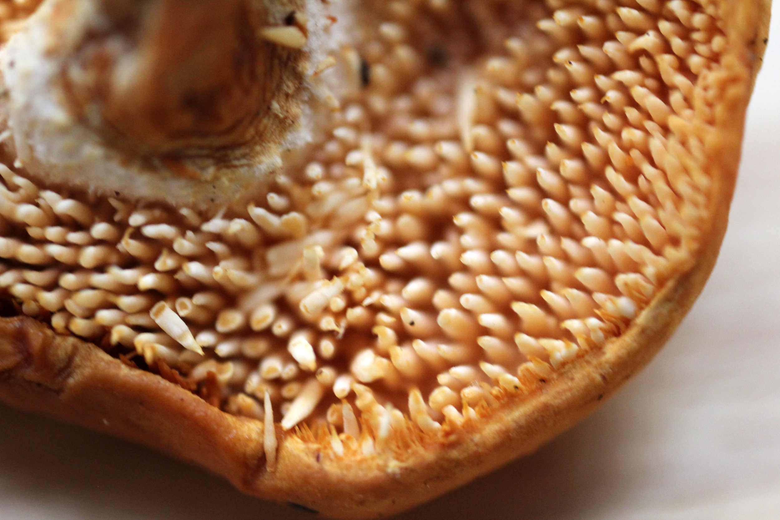 By Quinn Dombrowski from Berkeley, USA - Hedgehog mushroom, CC BY-SA 2.0,