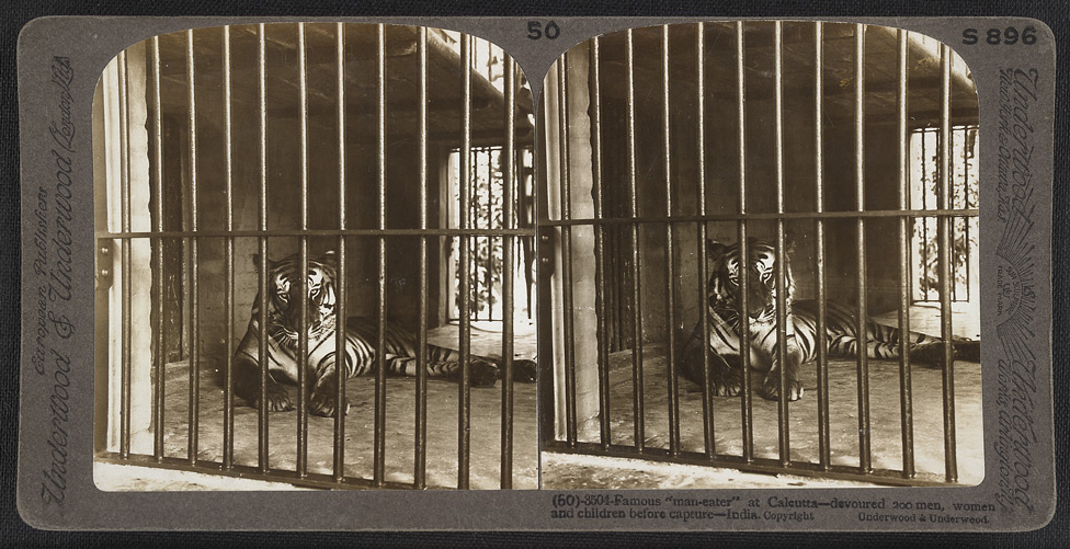 "Stereographic image titled, ""Famous 'man-eater' at Calcutta - devoured 200 men, women and children before capture - India. photo by James Ricalton, public domain."