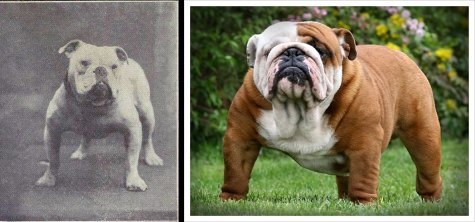 The English bulldog, before and after via  science and dogs