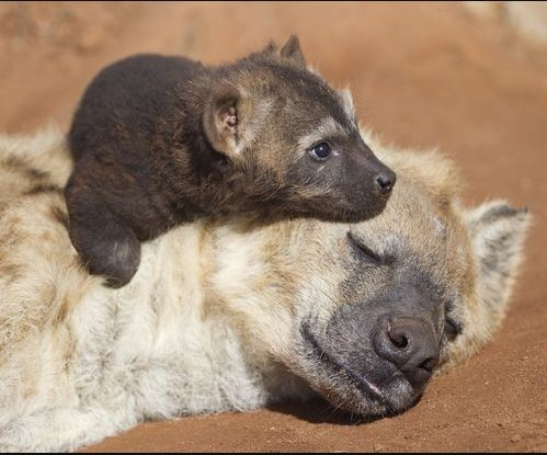 - Spotted Hyena