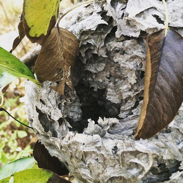 This bald faced wasp nest got raided by a bear, looking for a late fall slug of protein from the egg galleries. (Not pictured, the bear)