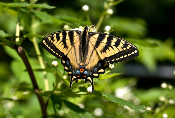 Canadian tiger swallowtail-3233.jpg