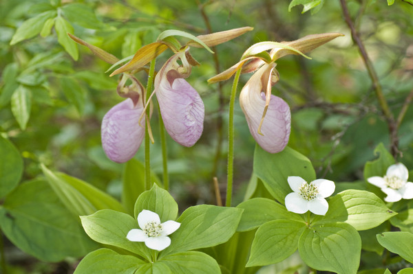 lady's slippers-3245.jpg