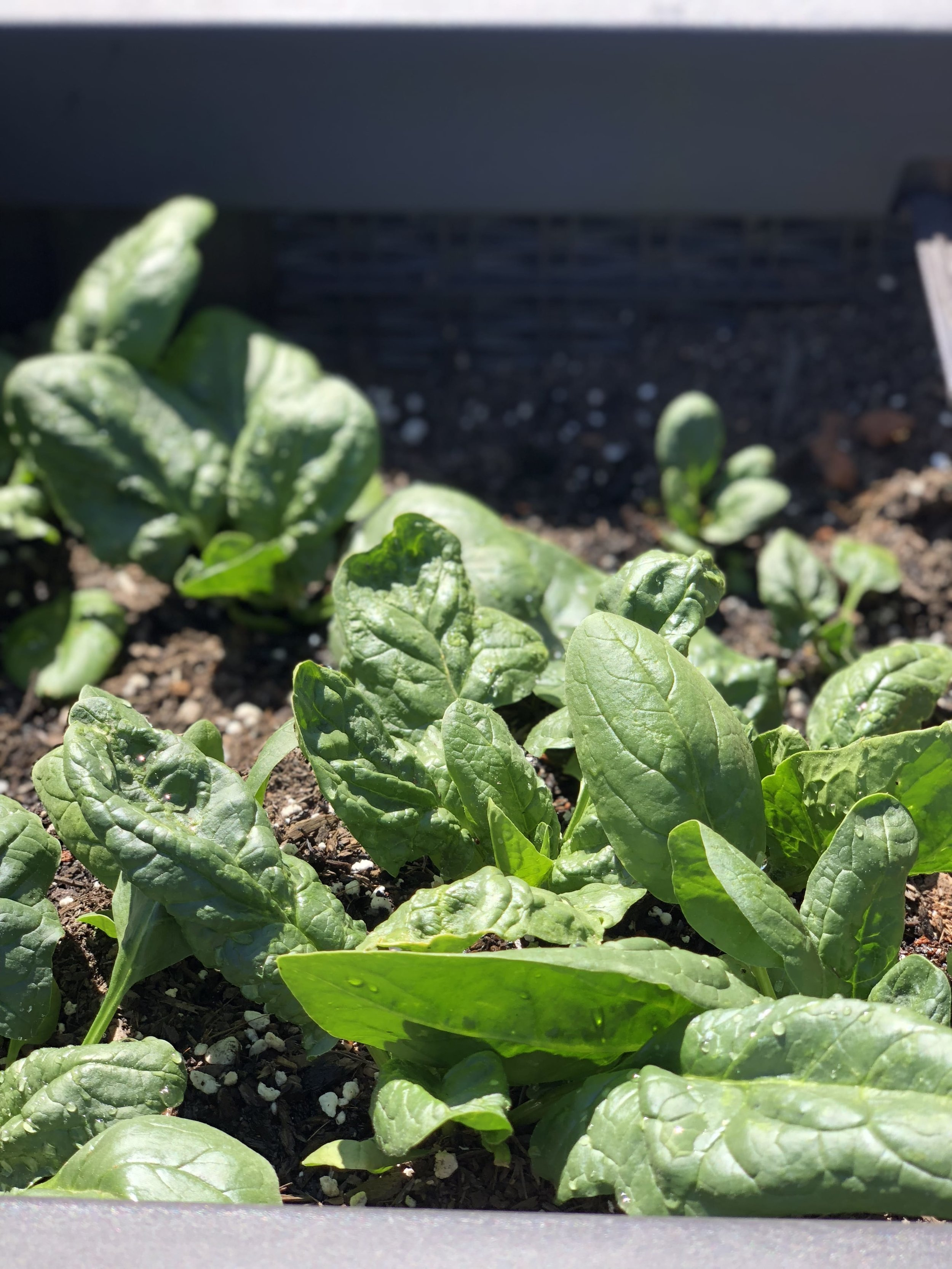 My zero-waste garden for composting and growing some spinach