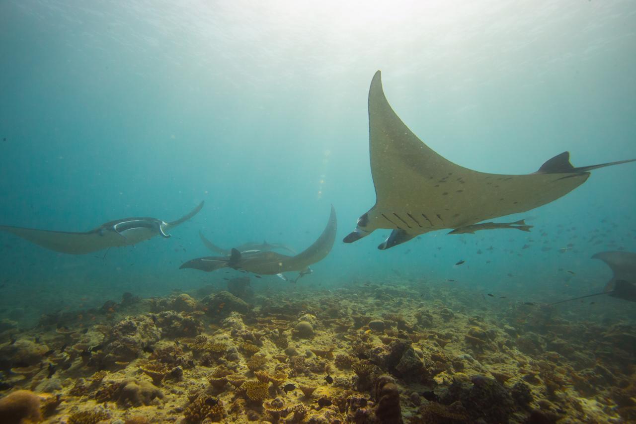 scuba-diving-maldives-manta
