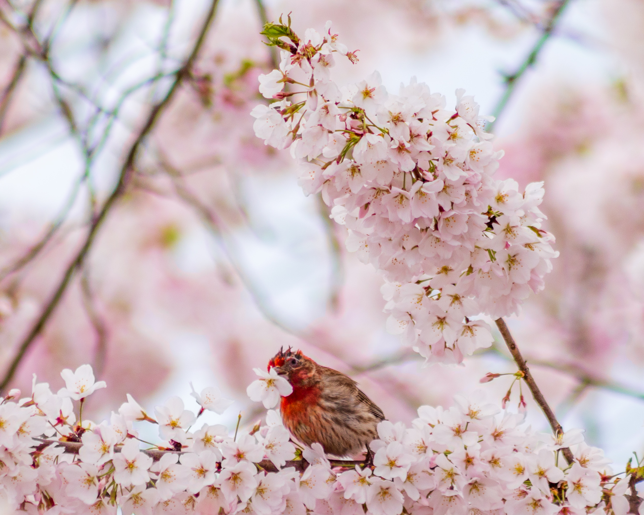 House Finch in Cherry Tree