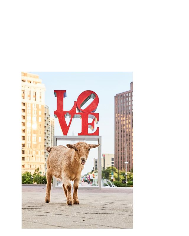 I #LOVE these goats! My darling, Clementine at #LOVEpark . . . . #phillygoatproject #goatsofinstagram #goatsofig #goats #goatsofphilly
