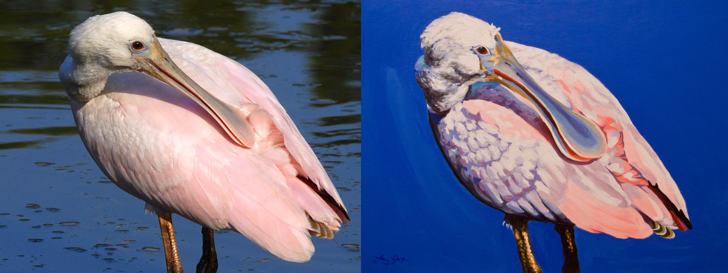 spoonbill preening before and after.jpg