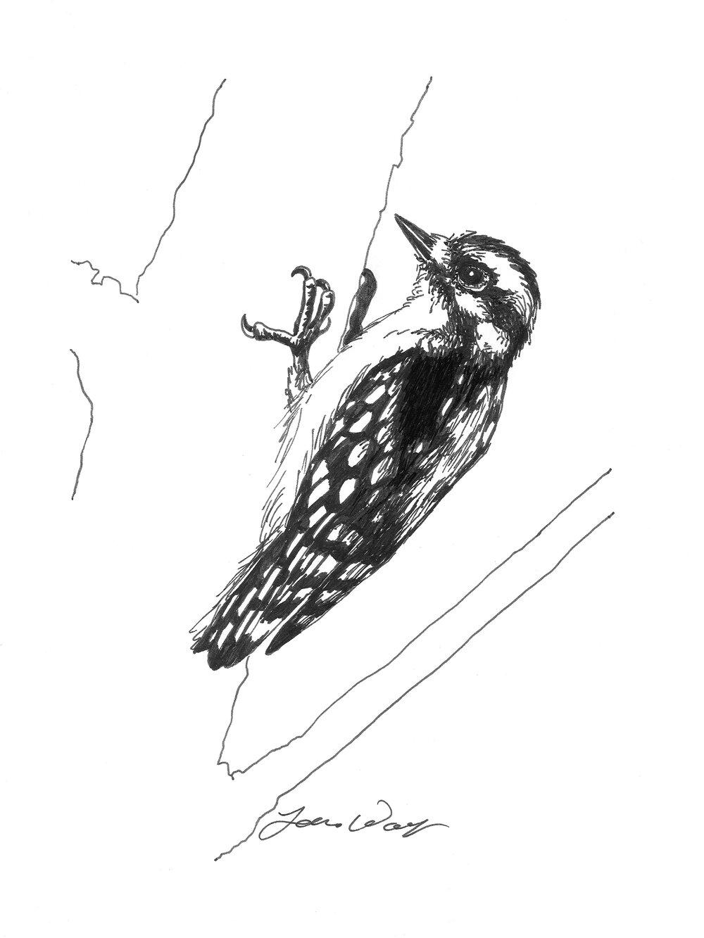 NOT A PRINT Original Colored Pencil Drawing Nerdie Bird Downy Woodpecker
