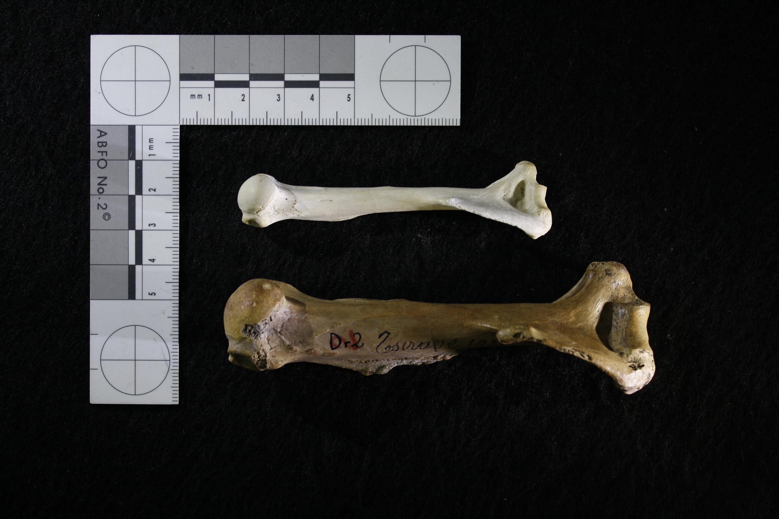 Humeri from the extant aye-aye ( Daubentonia madagascariensis ; top) and the extinct giant aye-aye ( Daubentonia robusta ; bottom)