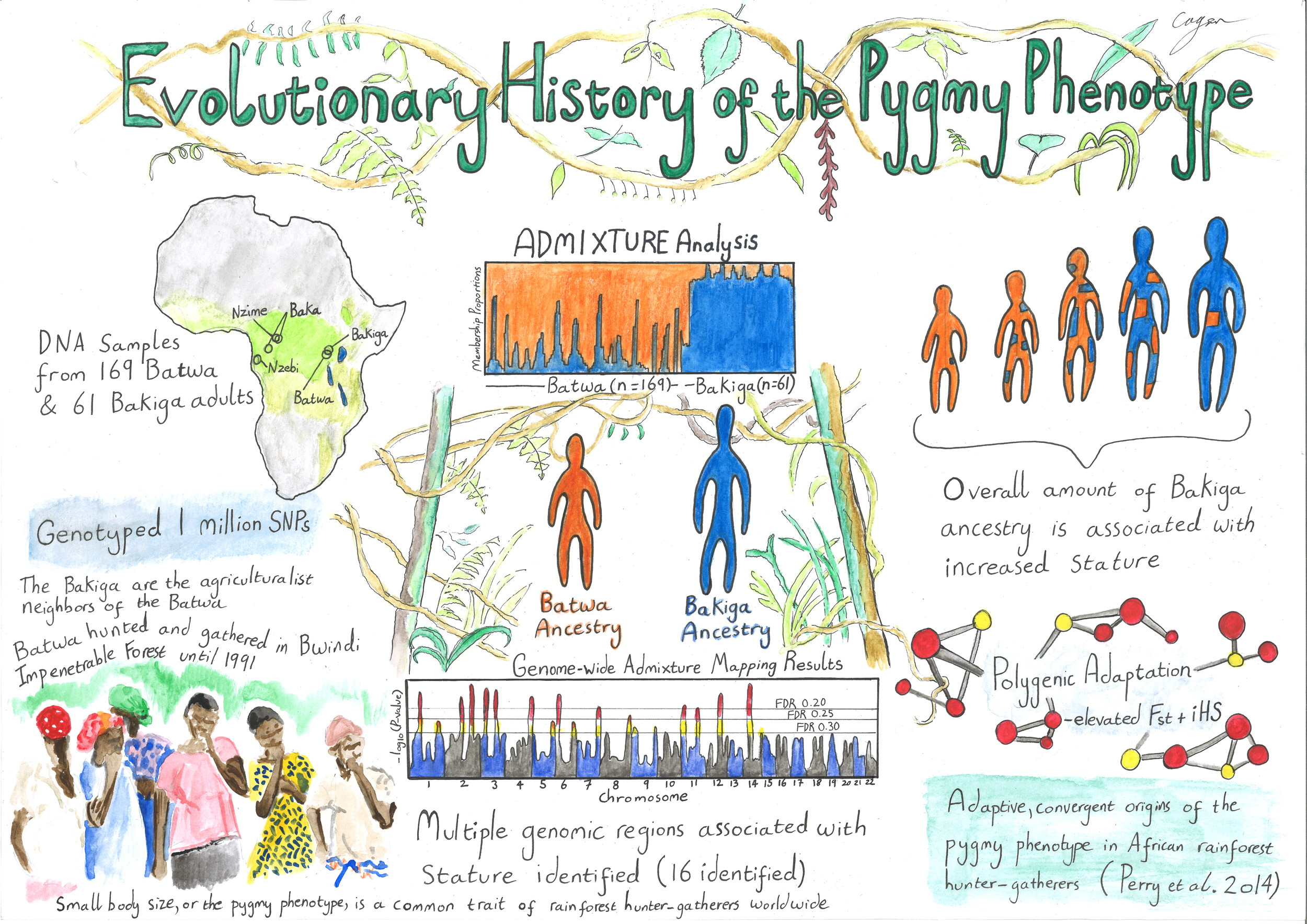 Illustration by Alex Cagan of results from  Perry et al. 2014 ; used in summer 2015 to help us present our results to the Batwa and Bakiga communities in Ugandawho participated in the study.
