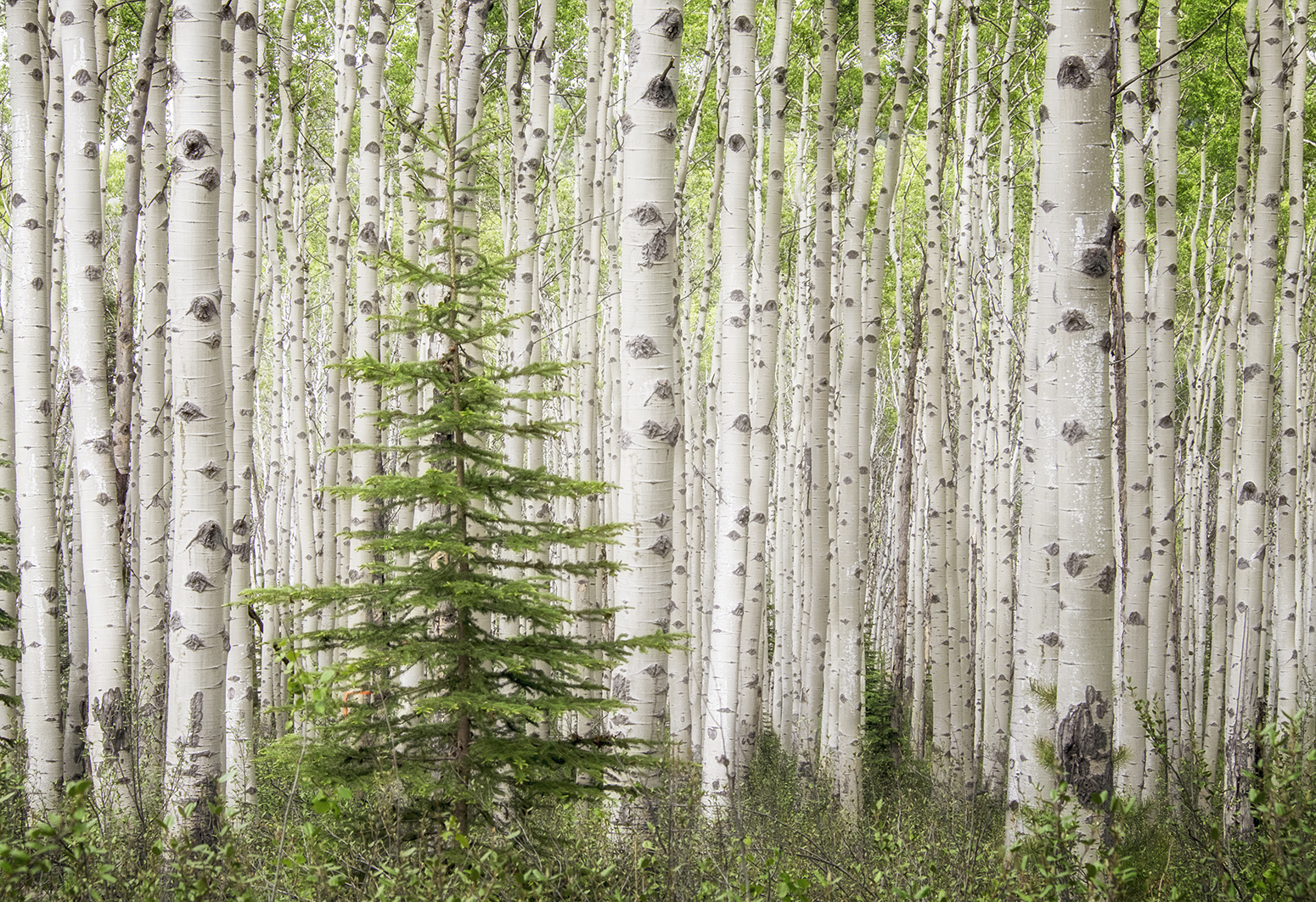 Deep woods—Birch forest in the mountains behind Jasper in the Canadian Rockies  (Photo Credit:   Louise Shoemaker)