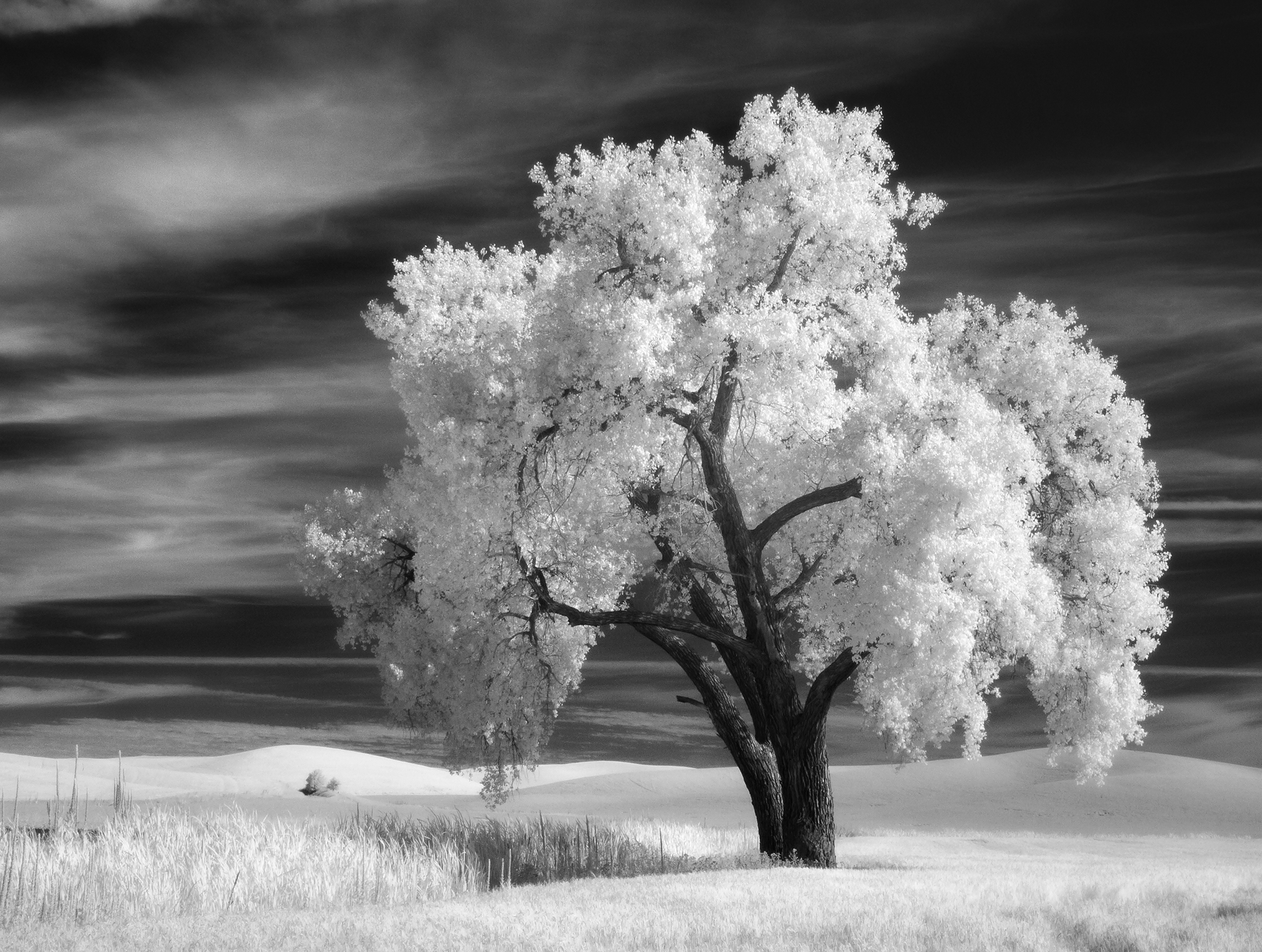 Long Tree, Palouse, Infrared  [Photo Credit: Rad A. Drew]