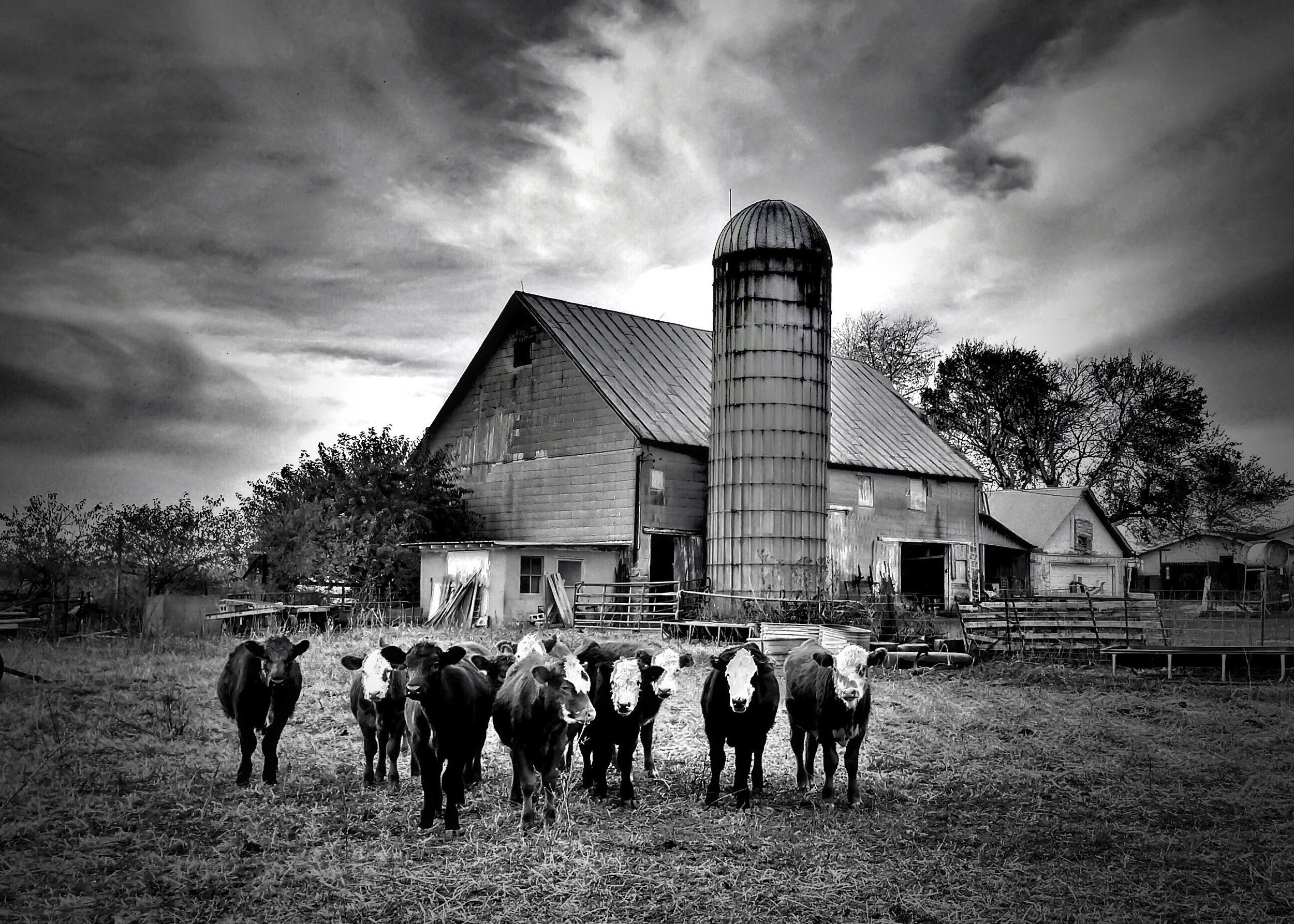 Heifers, Indiana Farm  [Photo Credit: Rad A. Drew]
