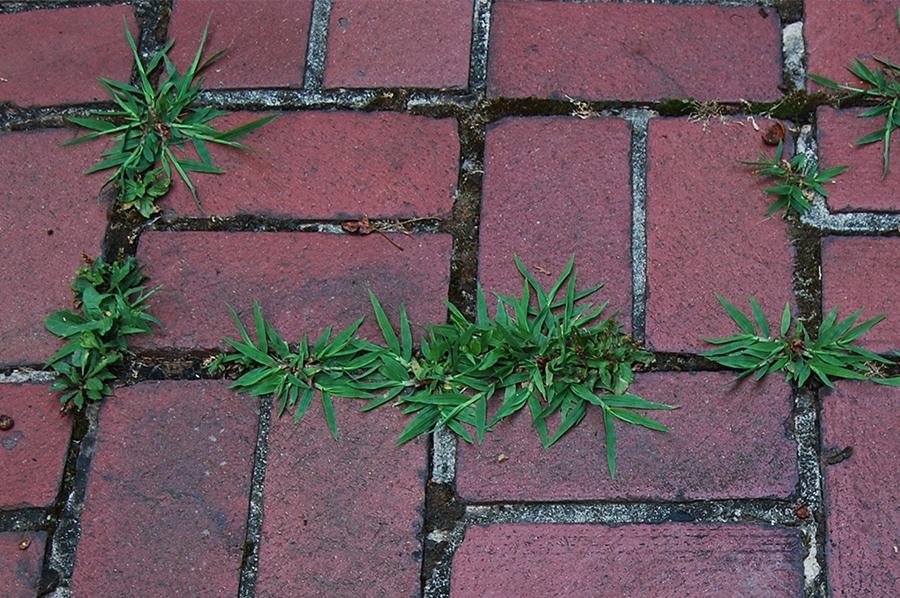 Photo of street flowers growing amongst the bricks