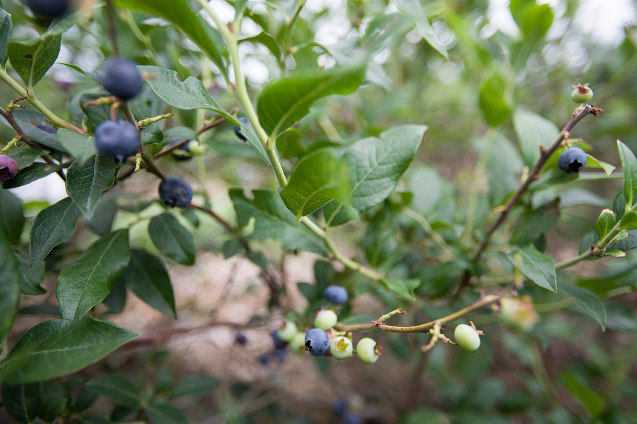 MaidenRockWI_Blueberry_03.jpg