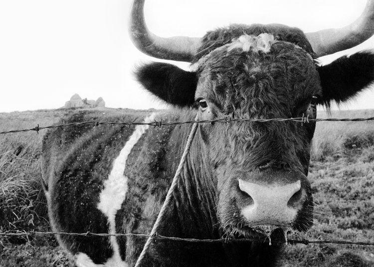 dribbling_cow_1.jpg