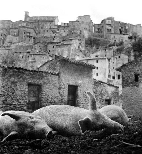 Italian_pigs_1.jpg