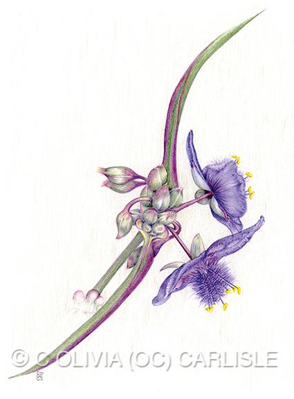 Spiderwort, tradescantia