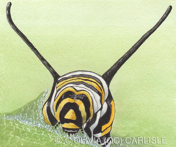 Monarch butterfly, Danaus plexippus, instar five, Asclepia incarnata leaf.