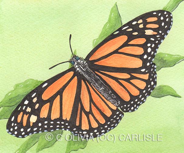 Monarch butterfly, Danaus plexippus, female, generic leaf.