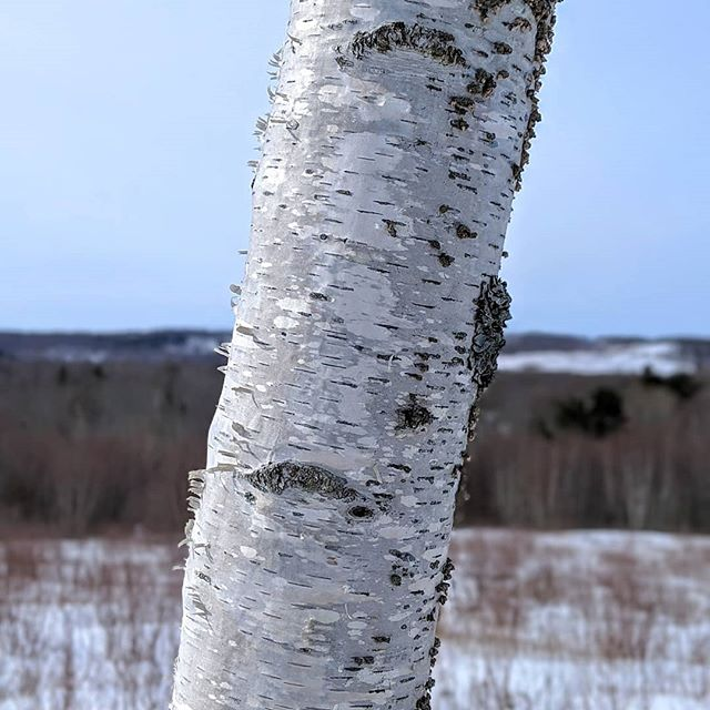 Winter Birch #maine #teampixel