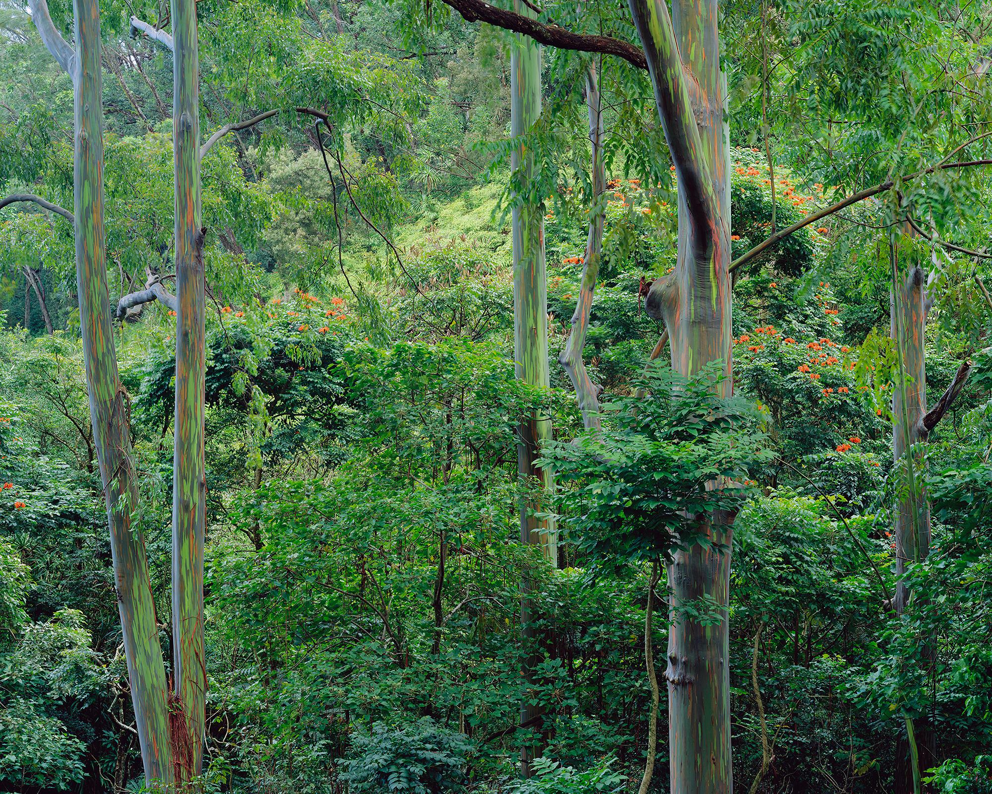 Eucalyptus Forest.jpg