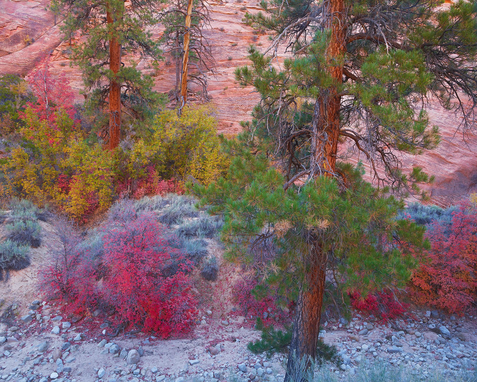 Scrub Oak, Pines in the Wash.jpg