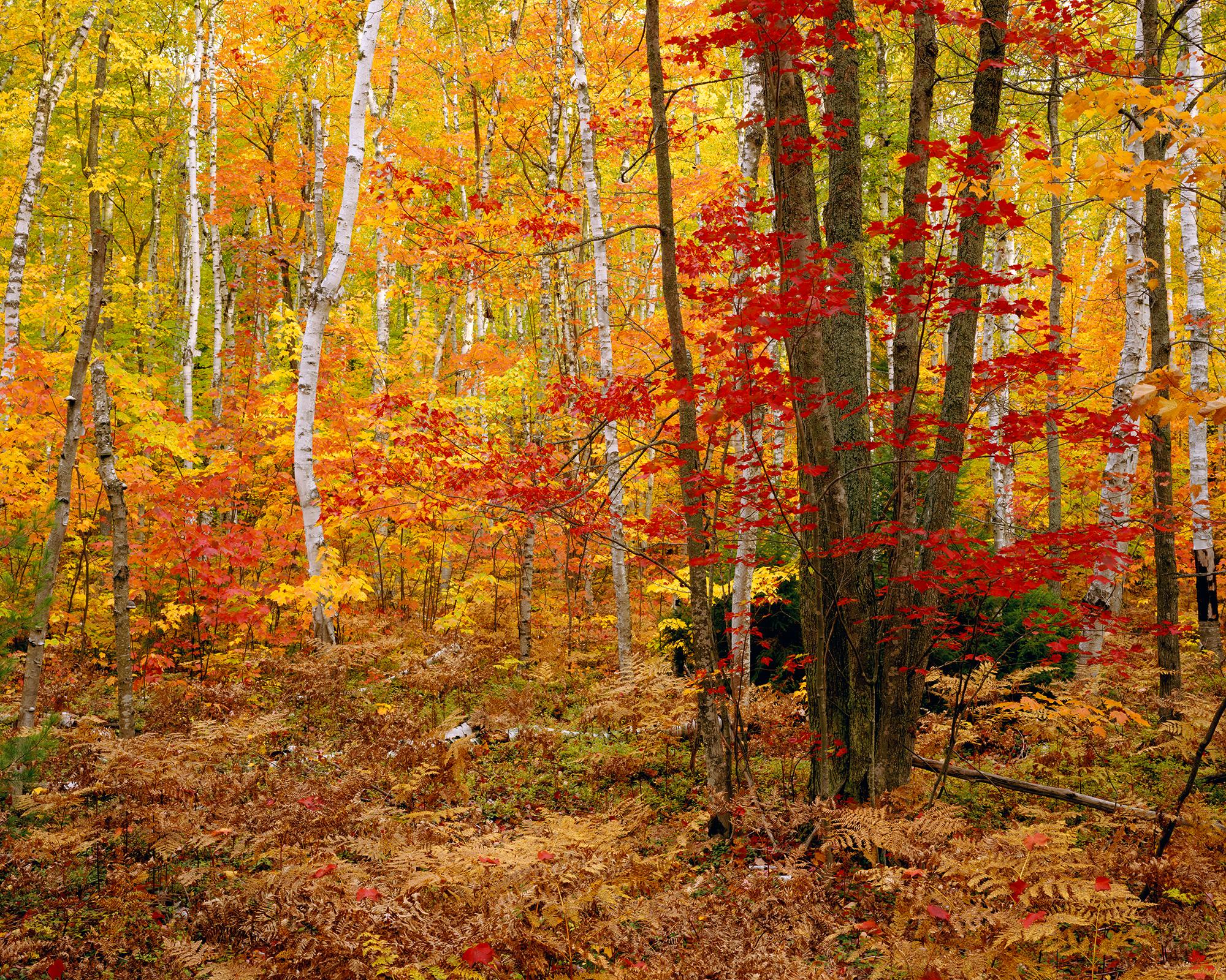 The Big Birch Forest.jpg