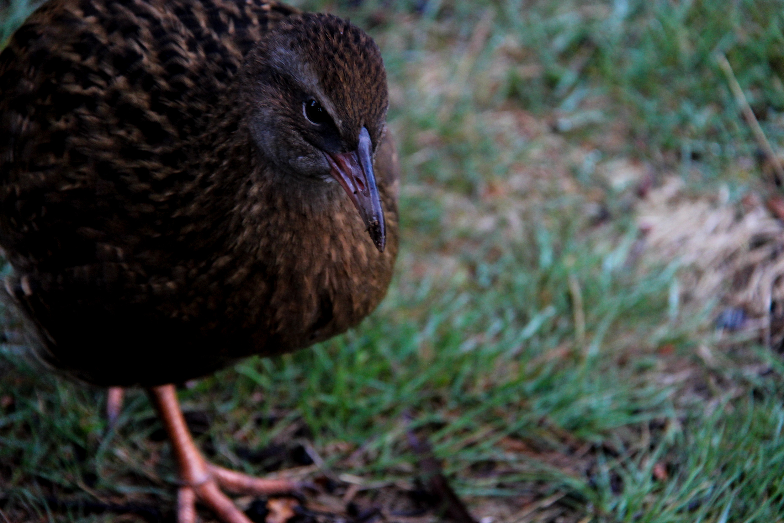 A weka searches for food scraps left around the hut by hikers. Wekas are flightless ground scavengers that are native to New Zealand.