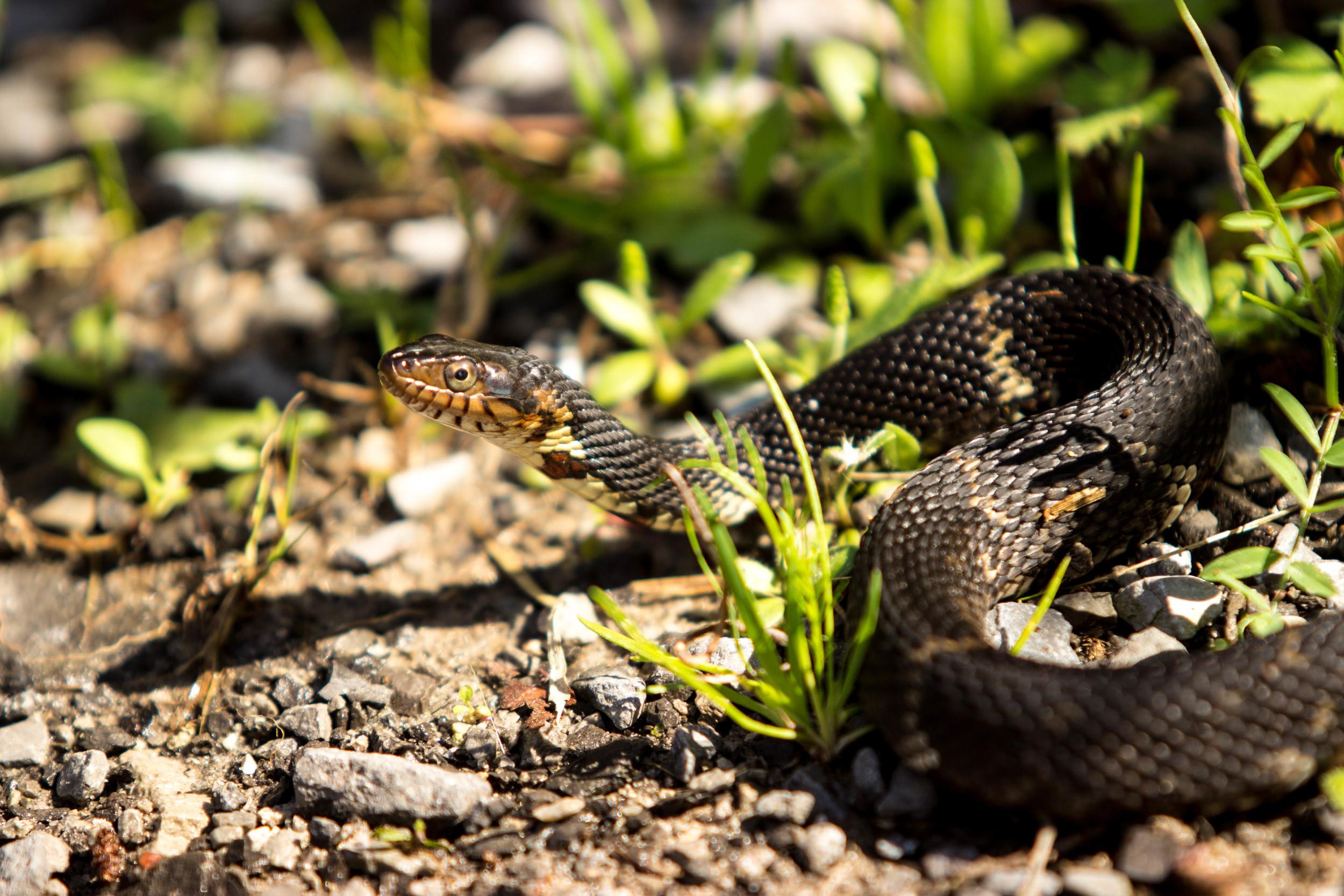 Snake, Jean Lafitte National Park, Marrero, La